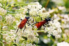 Tarantula Hawk Wasp Duo Royalty-vrije Stock Fotografie