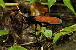 Free Tarantula Hawk Wasp With Kill In Mouth, Costa Rica Royalty Free Stock Images - 48878669