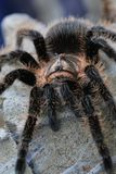 tarantula royalty-vrije stock foto