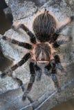 tarantula stock foto