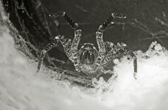 Tarantula in the hole Stock Photo