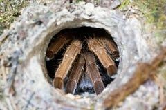 Tarantula in the house. The tarantula is hiding inside the hole Royalty Free Stock Photos
