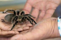 Tarantula i ręki zdjęcie royalty free