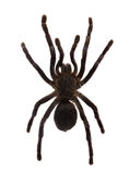 Tarantula. Isolated over white Stock Photo