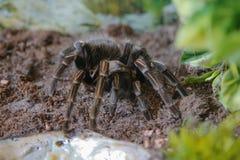 Tarantula, kobiety Acanthoscurria musculosa Fotografia Royalty Free