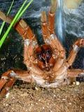 tarantula króla pawiana Obraz Royalty Free