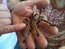 Tarantula. Large tarantula spider Stock Photos