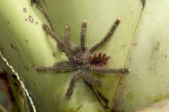 Tarantula on a leaf Stock Photo