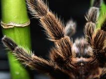 Tarantula legs royalty free stock photo