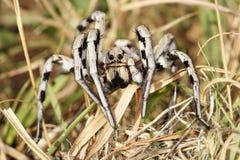 Tarantula Lycosa Στοκ εικόνα με δικαίωμα ελεύθερης χρήσης