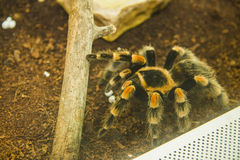 Tarantula Royalty Free Stock Images