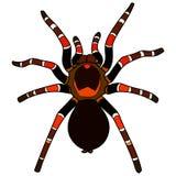 Tarantula mexicain de redknee Photo stock