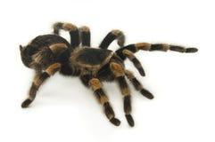 Tarantula mexicain de Redknee sur le blanc Images stock