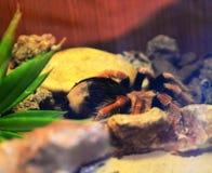 Tarantula Royalty Free Stock Images