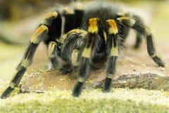 Tarantula Royalty Free Stock Photography