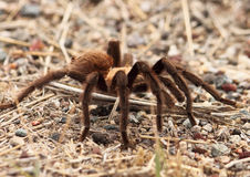 Tarantula Migration. Photo of tarantula on the move during migration/breeding season in New Mexico. Male tarantula's migrate every autumn in New Mexico in search Royalty Free Stock Photo