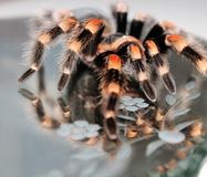 Tarantula on mirror. This is a picture of a Brachypelma smithi, walking on a mirror Stock Photo