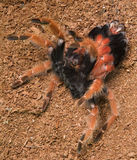 Tarantula molting Stock Image
