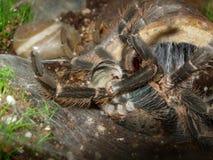 Tarantula muant Photographie stock