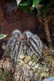 Tarantula na drzewnym bagażniku Fotografia Stock
