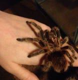 Tarantula na ręce obrazy royalty free
