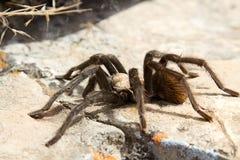 Tarantula na skale Obrazy Stock