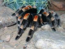 Tarantula Na skale Fotografia Royalty Free