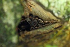 Tarantula in nest bij nacht Royalty-vrije Stock Foto's