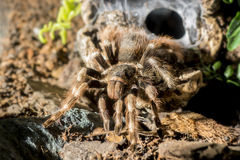 Tarantula (Nhandu coloratovillosus) adult female Stock Photography