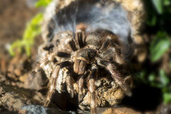 Tarantula (Nhandu coloratovillosus) adult female Stock Image