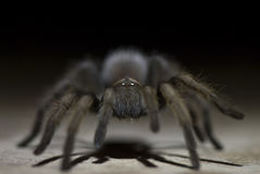 Tarantula at Night Royalty Free Stock Photography