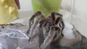 Tarantula od chile Obrazy Stock