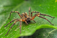 Tarantula op blad royalty-vrije stock foto's