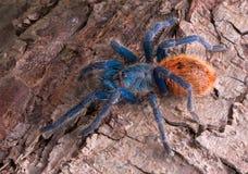 Tarantula op schors Royalty-vrije Stock Fotografie