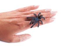 Tarantula pająk Avicularia versicolor, młody indywidualny odprowadzenie na kobiety ` s ręce Zdjęcie Stock