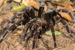 Tarantula (Pamphobeteus sp.) Royalty Free Stock Photos