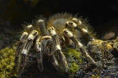 Tarantula - parahybana Lasiodora στοκ φωτογραφία
