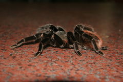 Tarantula at Pet shop. We saw this tarantulas at a Pet Shop in South Africa. They sell it as a pet Stock Image