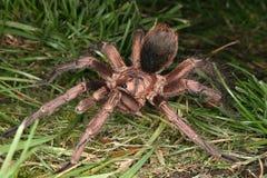 Tarantula (Phormictopus cochleasvorax) Royalty Free Stock Photography