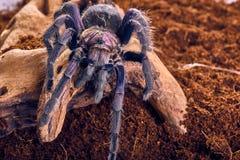 Tarantula Phormictopus sp purple Royalty Free Stock Image