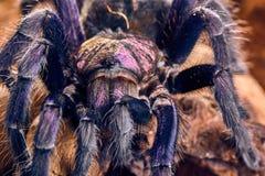Tarantula Phormictopus sp purple Stock Images