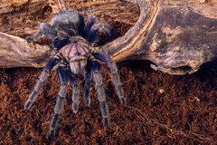 Tarantula Phormictopus sp purple Royalty Free Stock Images