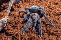 Tarantula Phormictopus sp purple Stock Photography