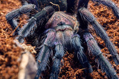 Tarantula Phormictopus sp purple Royalty Free Stock Image