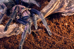 Tarantula Phormictopus sp purple Stock Photos