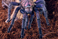 Tarantula Phormictopus sp purple Stock Photo