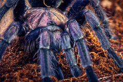 Tarantula Phormictopus sp purple Stock Image