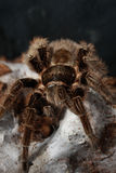 Tarantula Royalty Free Stock Photo