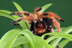 Tarantula on plant Royalty Free Stock Photography