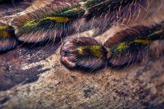Tarantula Poecilotheria rufilata Royalty Free Stock Photos